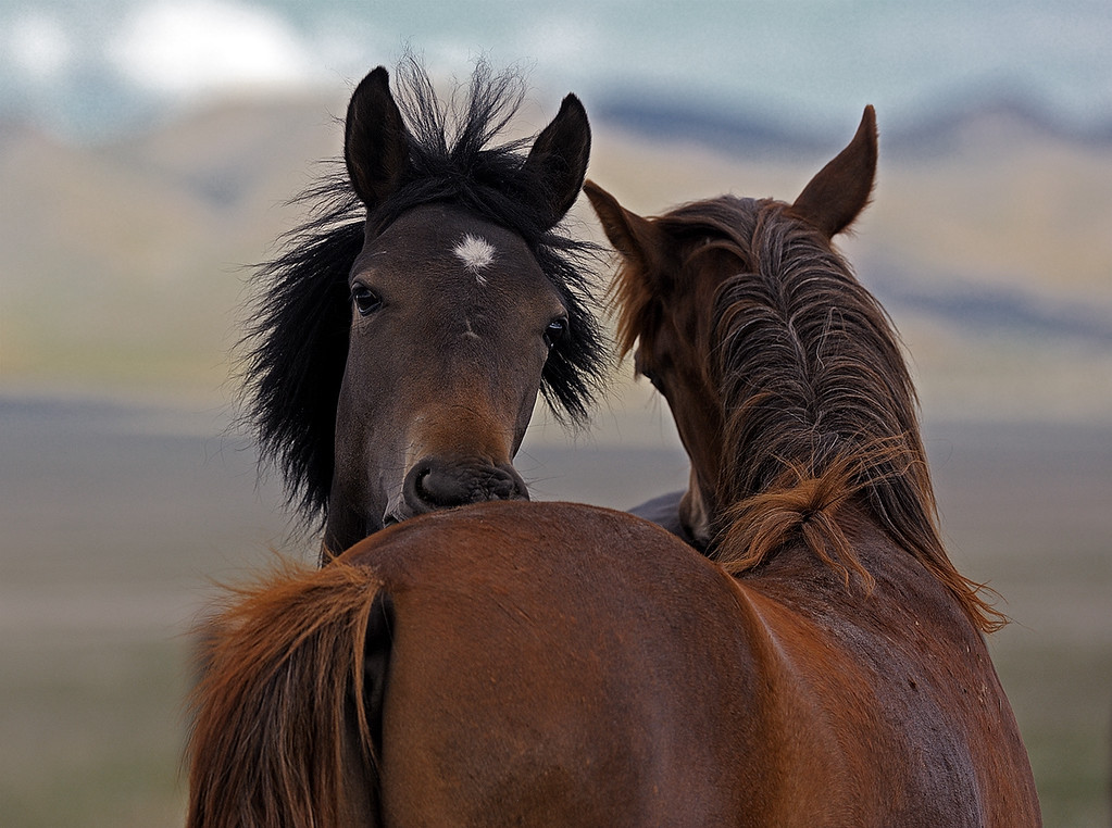 GOSSIP - wild horses