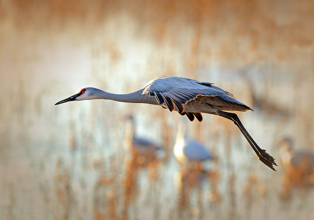 TIME IS FLYING... NEVER TO RETURN - Sandhill Crane