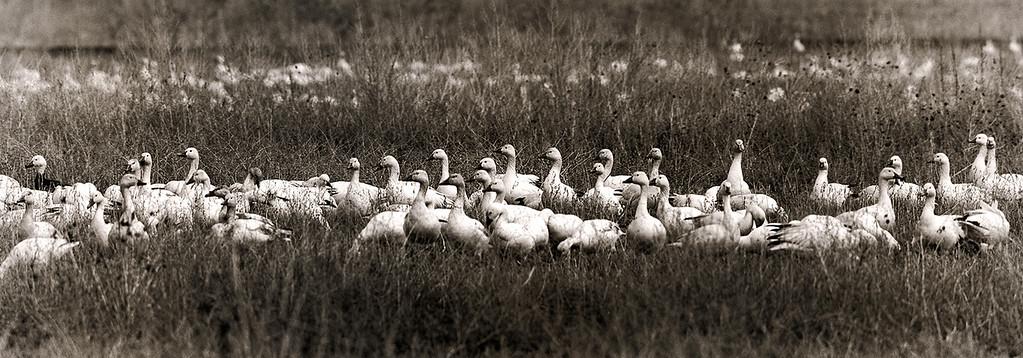 He went that way. - Snow Geese feeding in a farm field outside Delta, Utah