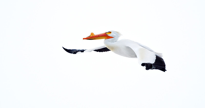 White on white - American White Pelican