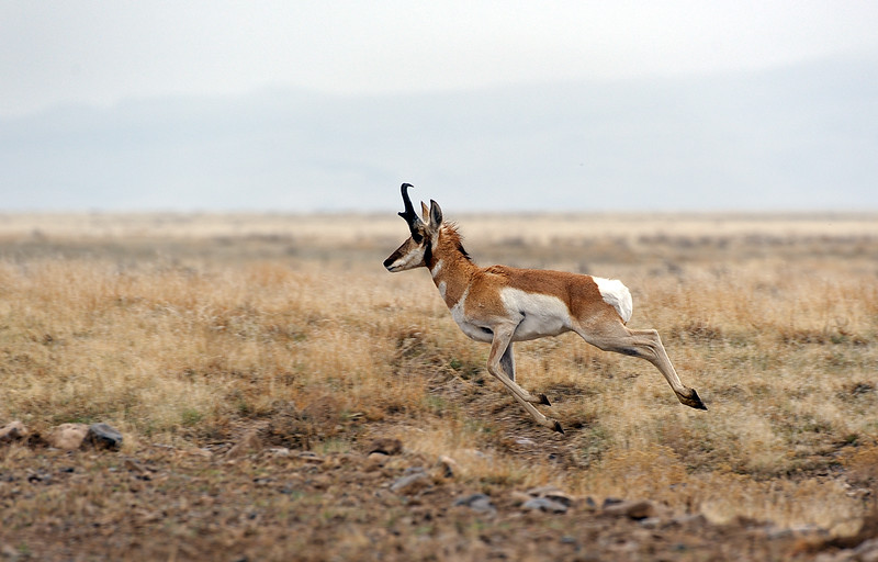 Pronghorn Antelope on the run.