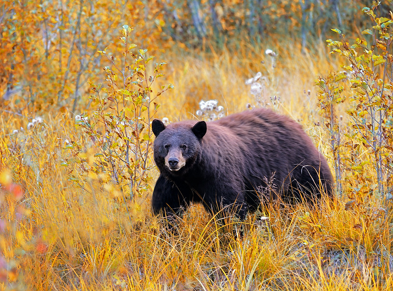 CINNAMON AND HONEY - Cinnamon colored Black Bear and the golden-honey color of autumn