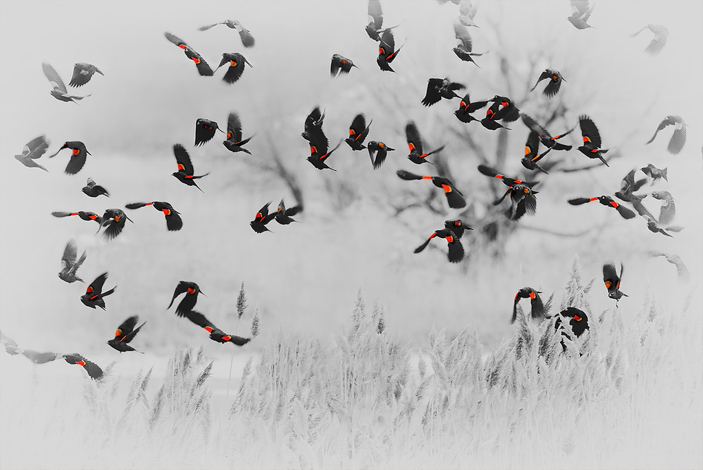 In strobe-light fashion Red-winged Blackbirds fill the scene with their brilliance.