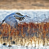 SANDHILL CRANE:  Height: 3 to 4 feet Weight: 6 to 12 pounds Wingspan: 6 to 7 feet Lifespan: 20 to 40 years