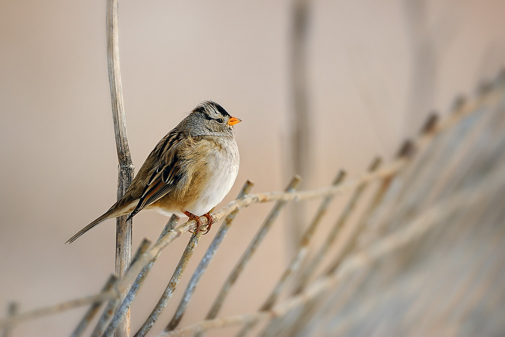 Bird on a wire - (White-crowned Sparrow)