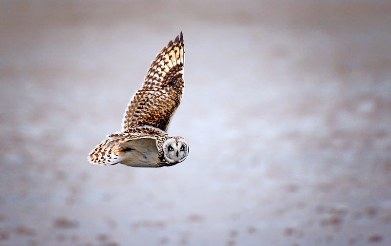 Late Afternoon Hunter - Short-eared Owl