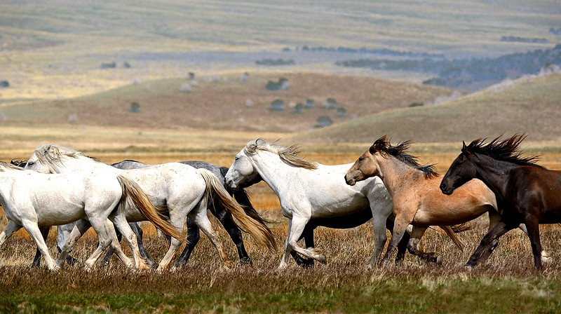Rounding up his mares. - Wild horses in the west desert of Utah