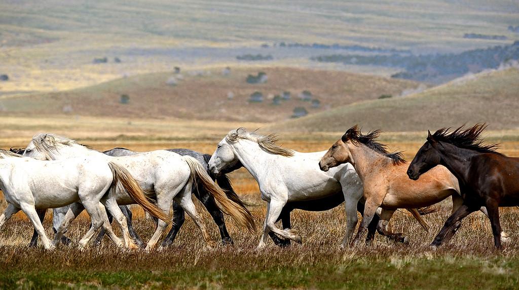 Rounding up his mares. - Wild horses in the west desert of Utah