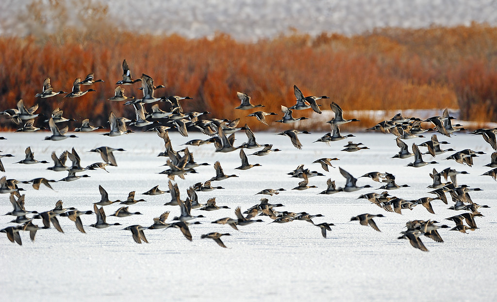 Low altitude flight - Northern Pintails