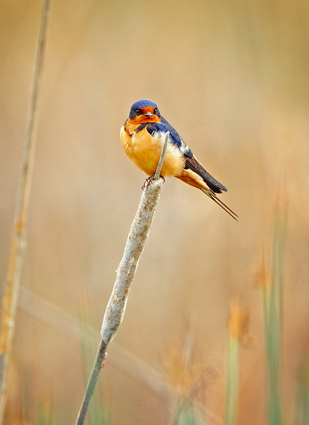 BARN SWALLOW IN THE CATTAILS
