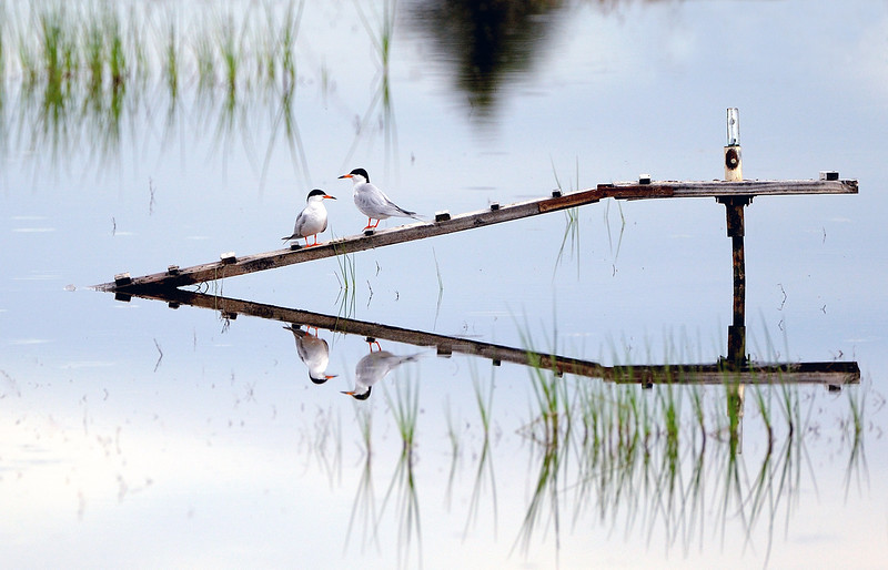 TWO TERNS MAKE FOUR - Forster's Terns