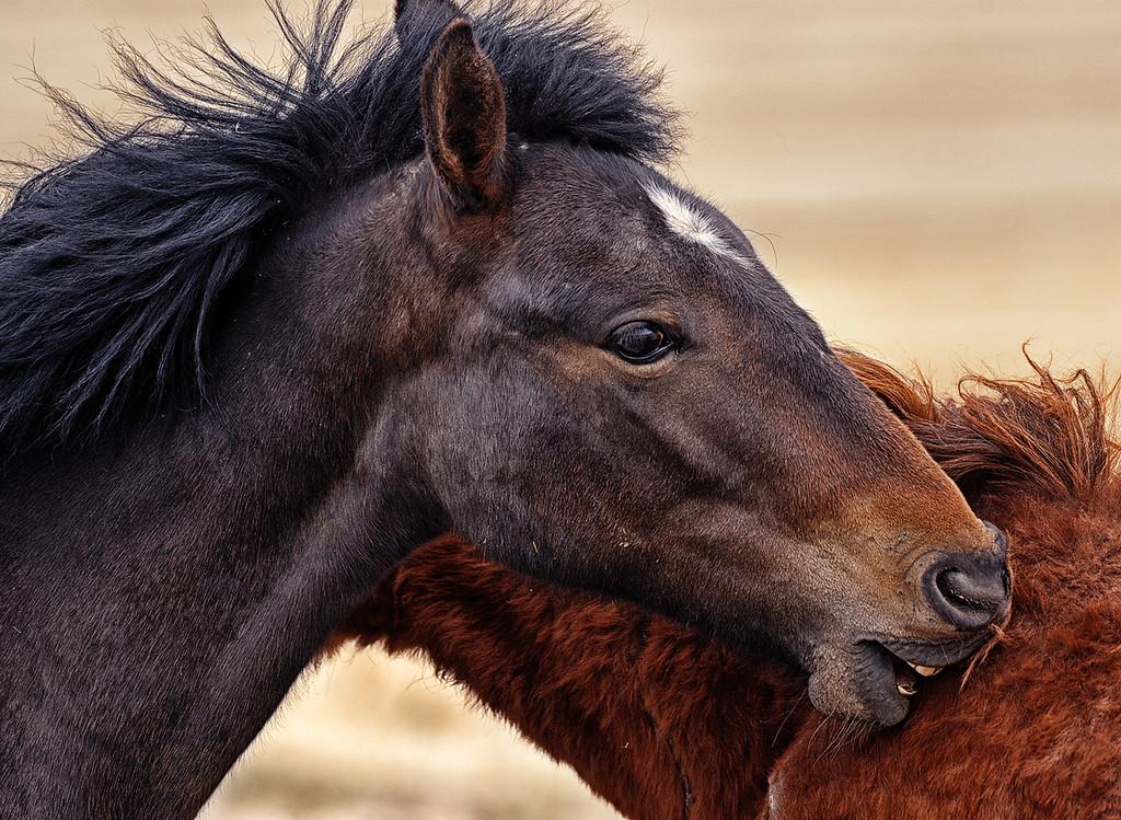 HORSE HICKEY - Wild horses