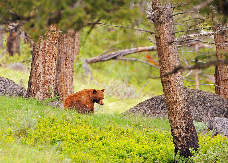 CINNAMON BEAR - A portion of black bears are of this color.