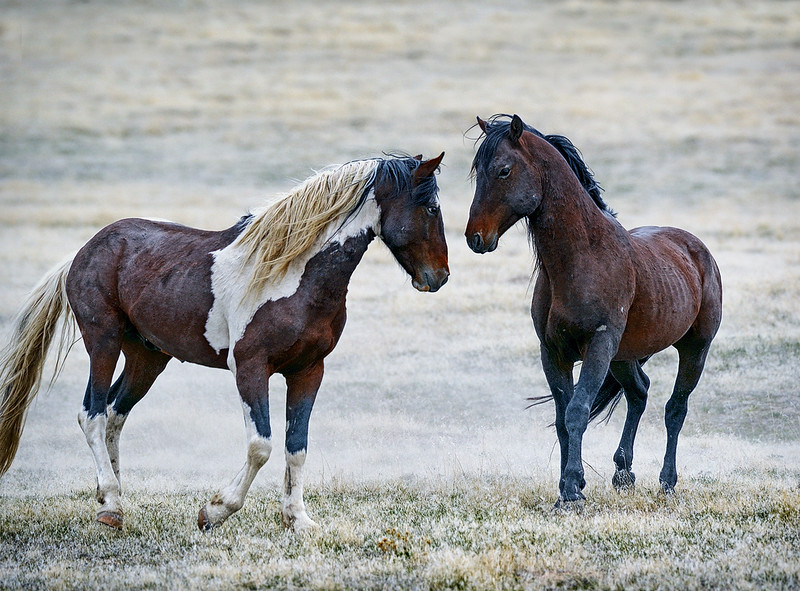 FEELING EACH OTHER OUT - Wild horses about to battle