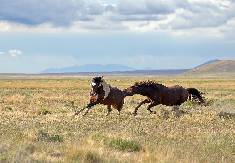 Wild horses - The stallions get very possessive when another tries to move in on his mares.