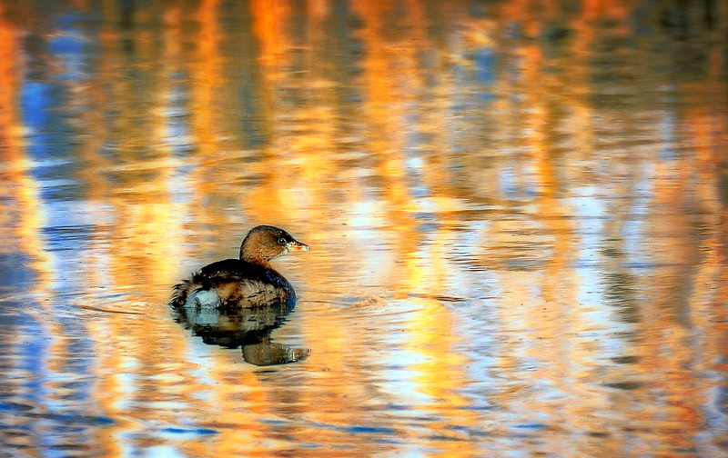 """Puff-Ball"":  Pied-billed Grebe"
