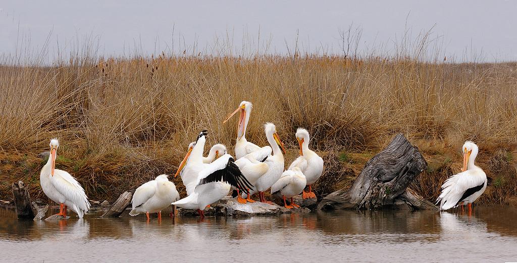 Preening - American White Pelicans - Bear River Bird Refuge