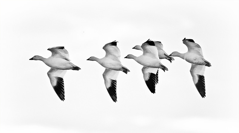 CHANGING DIRECTIONS - Snow Geese