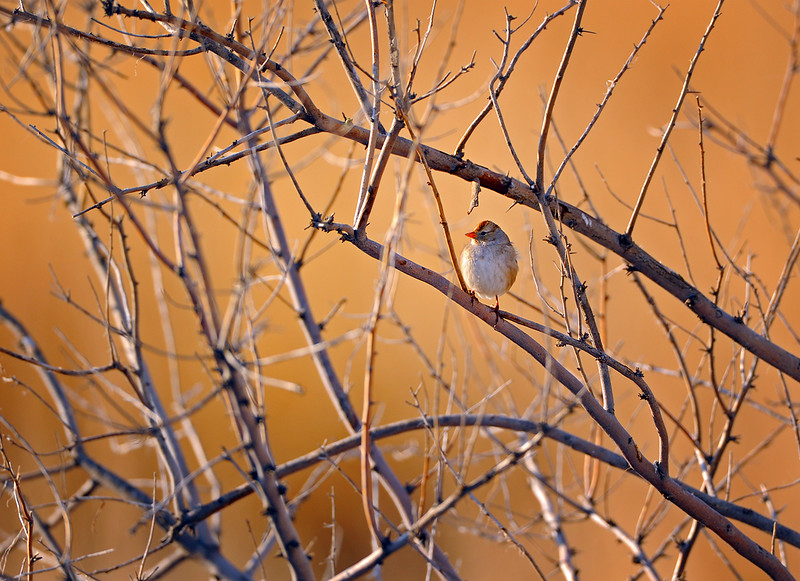 Winter sunrise - young White-crowned Sparrow