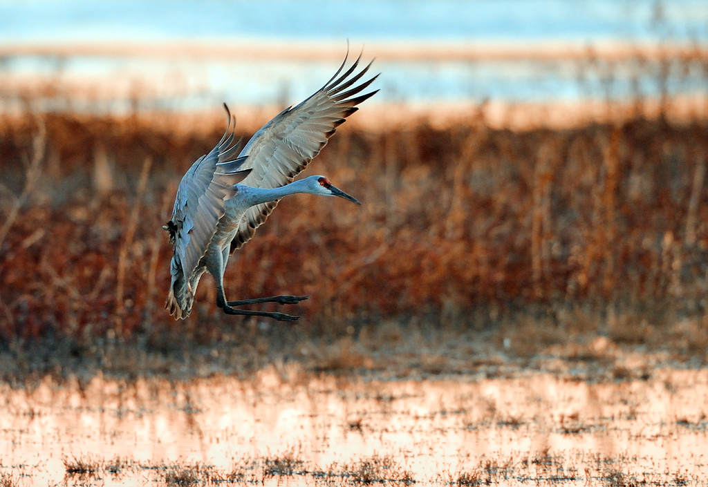 PUTTING ON THE BRAKES - Sandhill Crane on landing approach