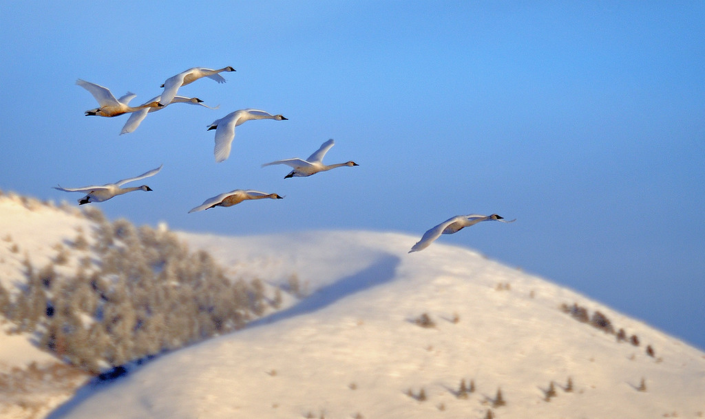 TUNDRA SWANS  - WASATCH MOUNTAIN BACKGROUND