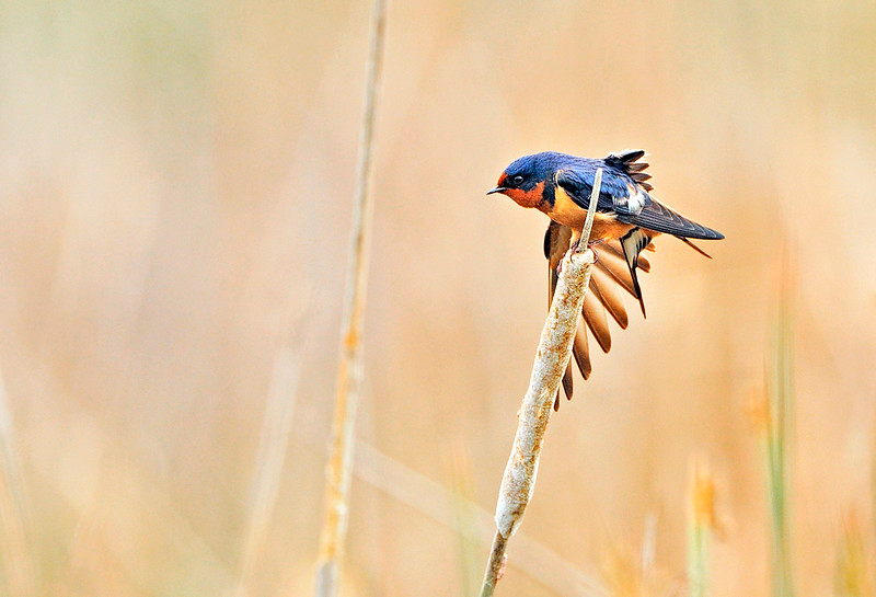 EARLY MORNING STRETCH - Barn Swallow in the cattails