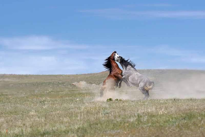 MAKIN' A FUSS AND KICKIN' UP THE DUST - Wild stallions