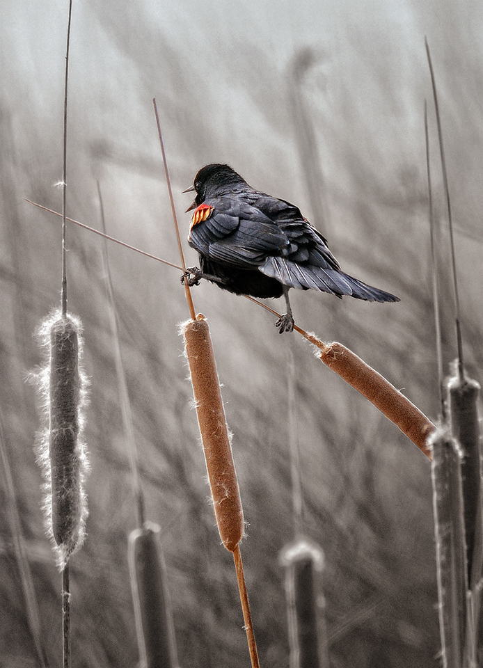 In the Cattails Red-winged Blackbird