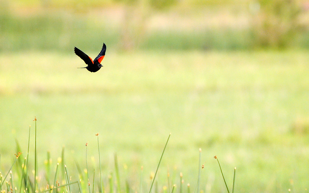 SHALLOW FOCUS - Red-winged Blackbird