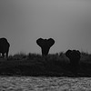 Elephant of the Chobe