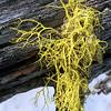 Lichen, Letharia sp.