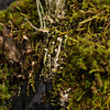 Smooth Cladonia,  Cladonia gracilis