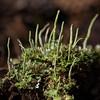 Smooth Cladonia,  Cladonia gracilis