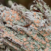 Fairy Barf Lichen, Icmadophila ericetorum