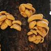 Pholiota mushroom, Pholiota adiposa
