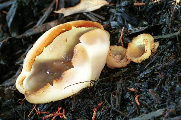 Cup fungus, Peziza sp.