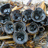 Bird's Nest fungus, Cyathus sp.