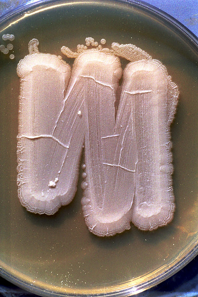 Yeast culture, Saccromyces sp.
