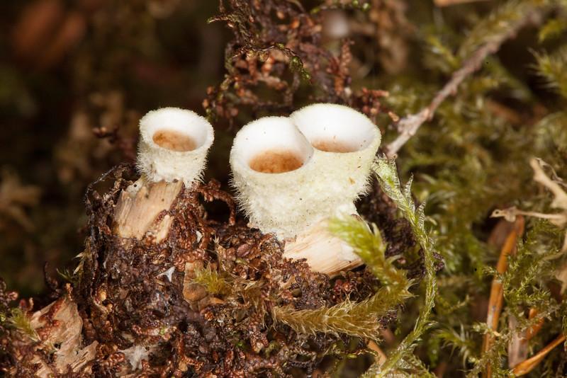 Bird's Nest fungus, Nidula niveo-tomentosa, White Barrel Bird's Nest