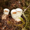 Bird's Nest fungus, Nidula niveo-tomentosa, White Barrel Bird's Nest
