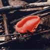 Orange peel peziza, Aleuria aurantia
