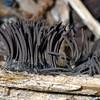Slime mold sporangia, Myxomycota, Stemonitis sp.