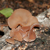 Tree ear, Wood ear, Auricularia auricula