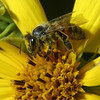 Bee on Maximillian Sunflower, Helianthus maximiliani