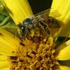Bee on Maximillian Sunflower, Helianthus maximiliani