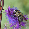 Bee on Eryngo, Eryngium leavenworthii