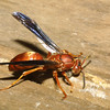 Wasp Scraping wood for nest building, likely Polistes carolina