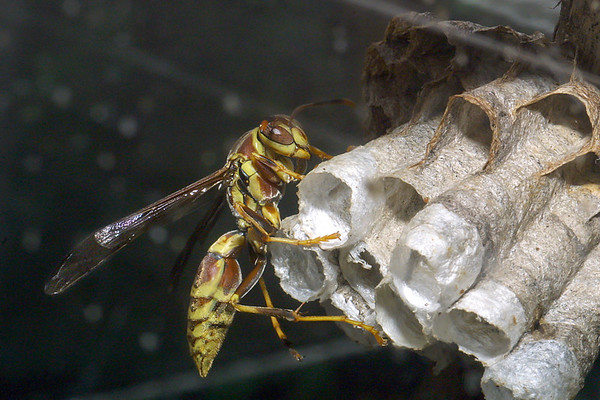 Paper Wasp, Polistes exclamans