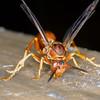 Paper Wasp, Polistes carolina