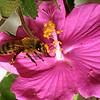 Honey Bee, Apis mellifera